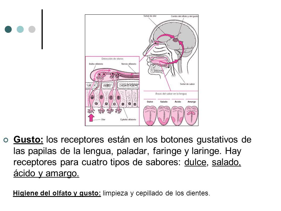 Gusto: los receptores están en los botones gustativos de las papilas de la lengua, paladar, faringe y laringe. Hay receptores para cuatro tipos de sab