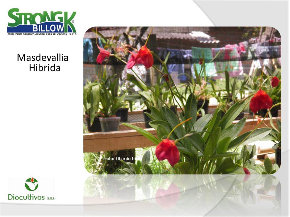 Masdevallia Hibrida Foto: Libardo Toro