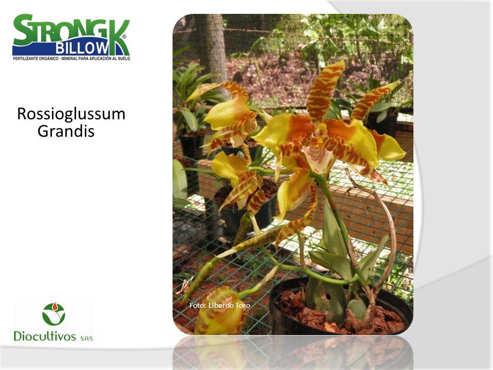Rossioglussum Grandis Foto: Libardo Toro