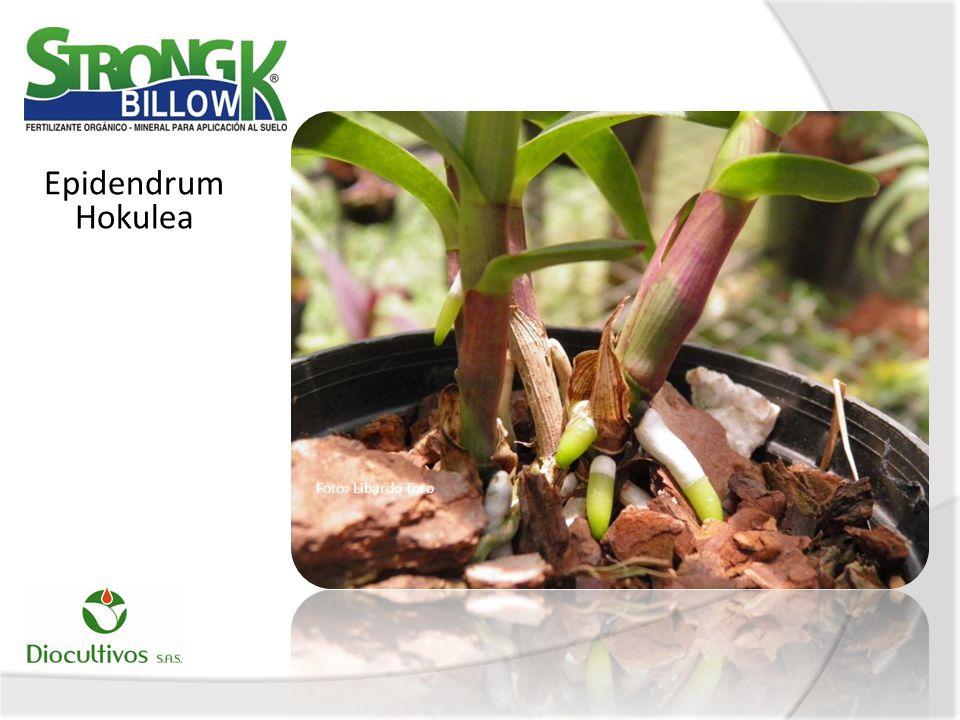 Epidendrum Hokulea Foto: Libardo Toro