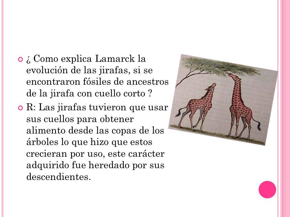 ¿ Como explica Lamarck la evolución de las jirafas, si se encontraron fósiles de ancestros de la jirafa con cuello corto ? R: Las jirafas tuvieron que