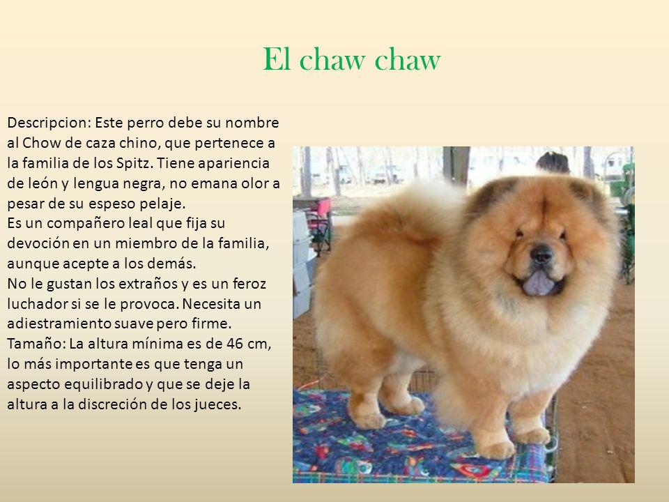 Descripcion: Este perro debe su nombre al Chow de caza chino, que pertenece a la familia de los Spitz. Tiene apariencia de león y lengua negra, no ema