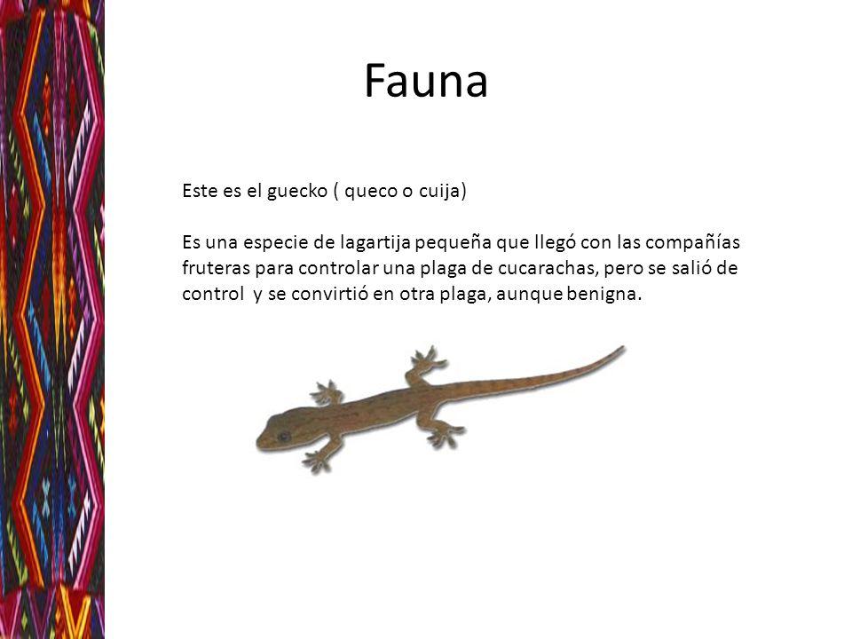 Fauna Este es el guecko ( queco o cuija) Es una especie de lagartija pequeña que llegó con las compañías fruteras para controlar una plaga de cucarach