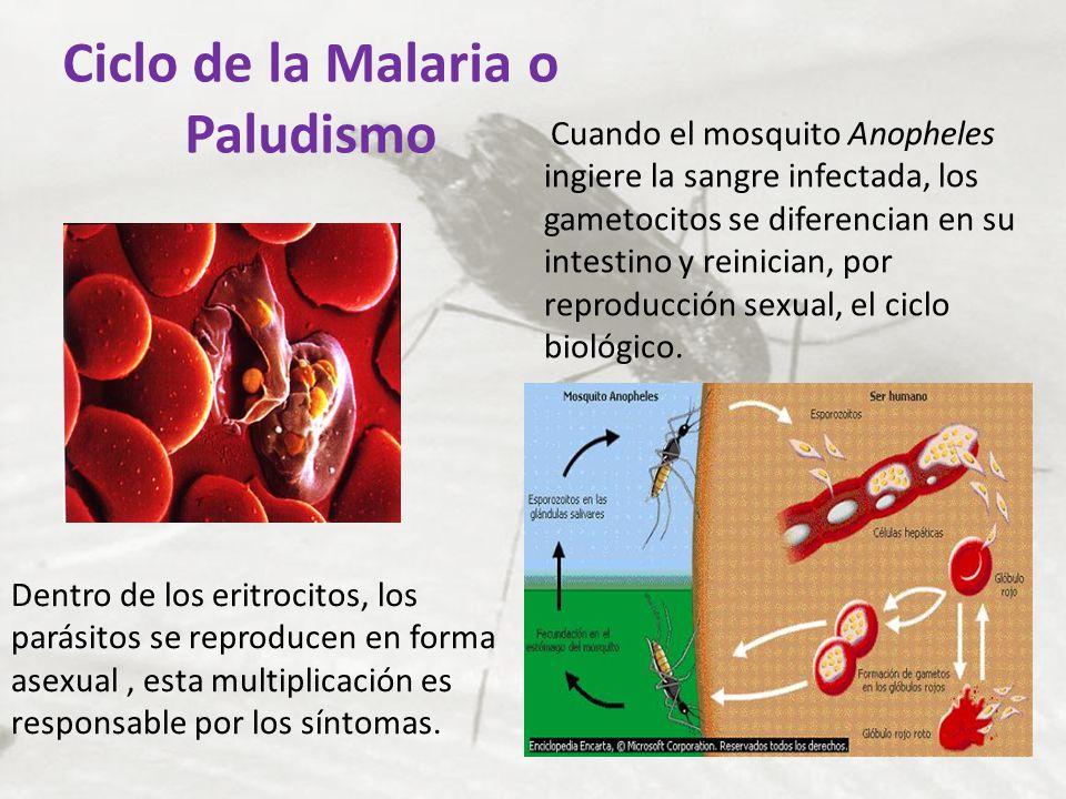 Ciclo de la Malaria o Paludismo Dentro de los eritrocitos, los parásitos se reproducen en forma asexual, esta multiplicación es responsable por los sí
