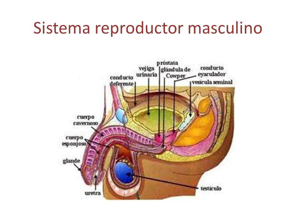 Sistema reproductor femenino Órganos genitales internos: Ovarios.
