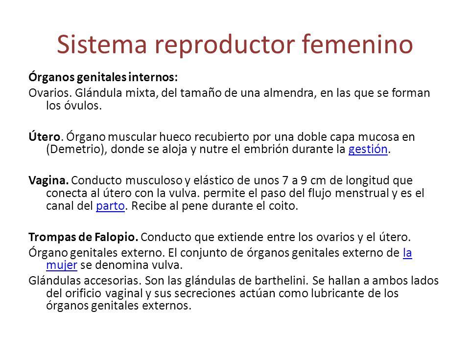 Sistema reproductor femenino Órganos genitales internos: Ovarios. Glándula mixta, del tamaño de una almendra, en las que se forman los óvulos. Útero.