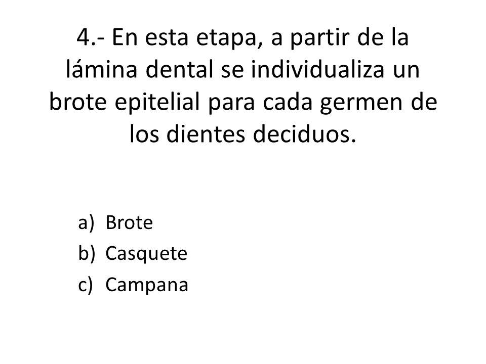 4.- En esta etapa, a partir de la lámina dental se individualiza un brote epitelial para cada germen de los dientes deciduos.