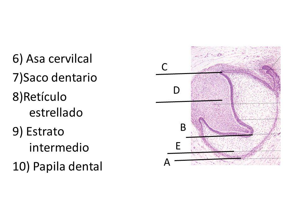 6) Asa cervilcal 7)Saco dentario 8)Retículo estrellado 9) Estrato intermedio 10) Papila dental C A B E D