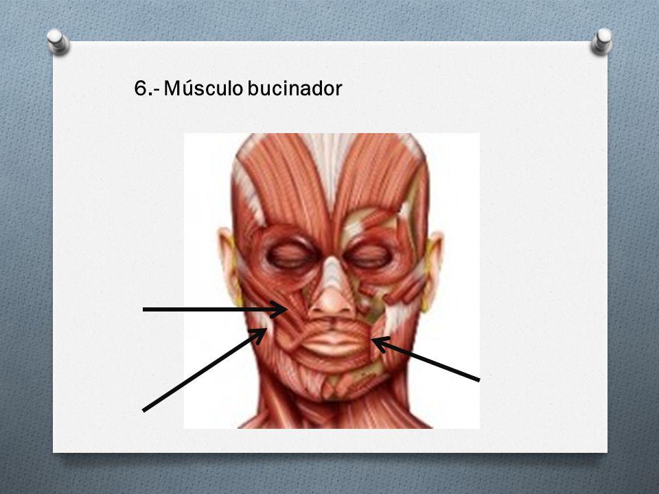 6.- Músculo bucinador