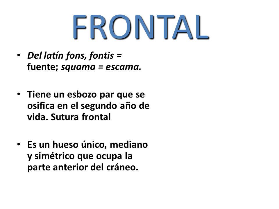 FRONTAL Del latín fons, fontis = fuente; squama = escama. Tiene un esbozo par que se osifica en el segundo año de vida. Sutura frontal Es un hueso úni