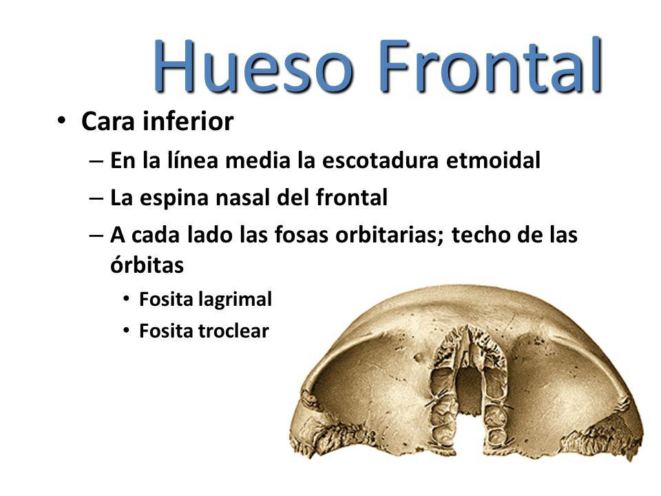 Hueso Frontal Cara inferior – En la línea media la escotadura etmoidal – La espina nasal del frontal – A cada lado las fosas orbitarias; techo de las