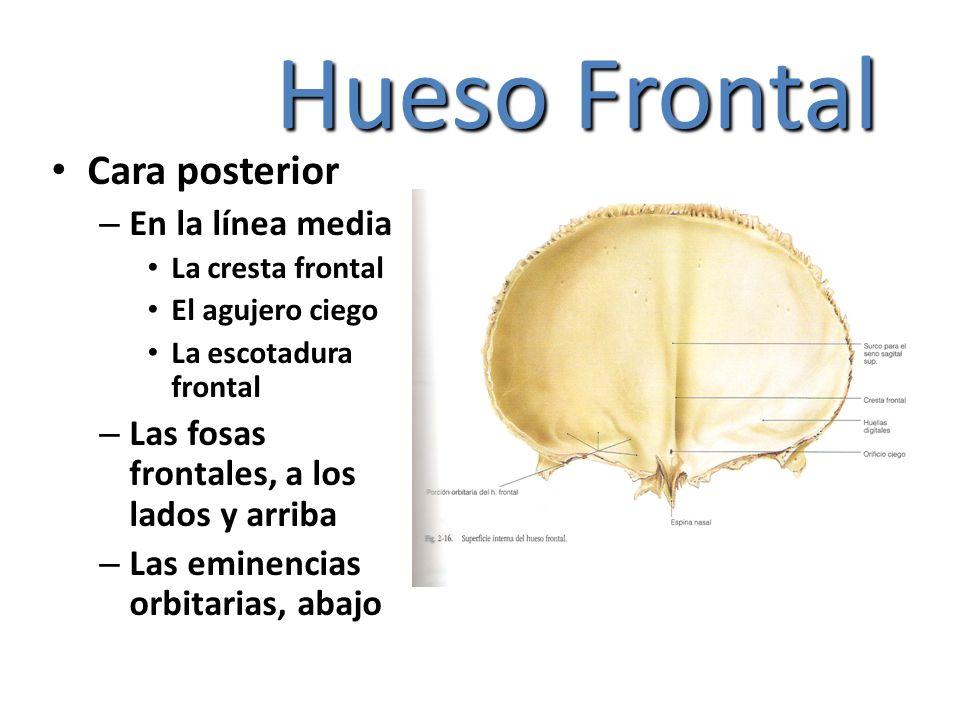 Hueso Frontal Cara posterior – En la línea media La cresta frontal El agujero ciego La escotadura frontal – Las fosas frontales, a los lados y arriba