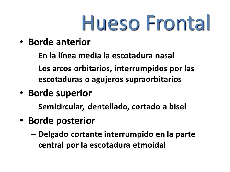 Hueso Frontal Borde anterior – En la línea media la escotadura nasal – Los arcos orbitarios, interrumpidos por las escotaduras o agujeros supraorbitar