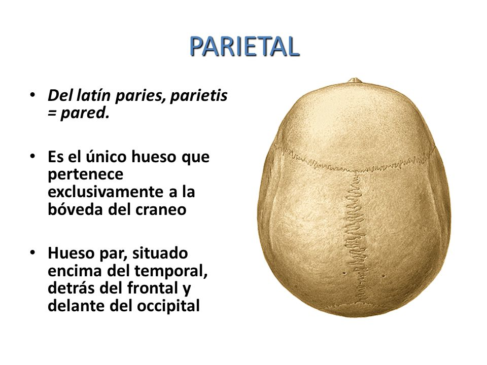 PARIETAL Del latín paries, parietis = pared. Es el único hueso que pertenece exclusivamente a la bóveda del craneo Hueso par, situado encima del tempo