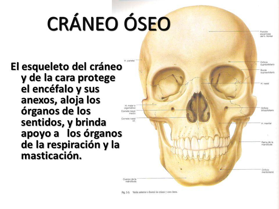 CRÁNEO ÓSEO El esqueleto del cráneo y de la cara protege el encéfalo y sus anexos, aloja los órganos de los sentidos, y brinda apoyo a los órganos de