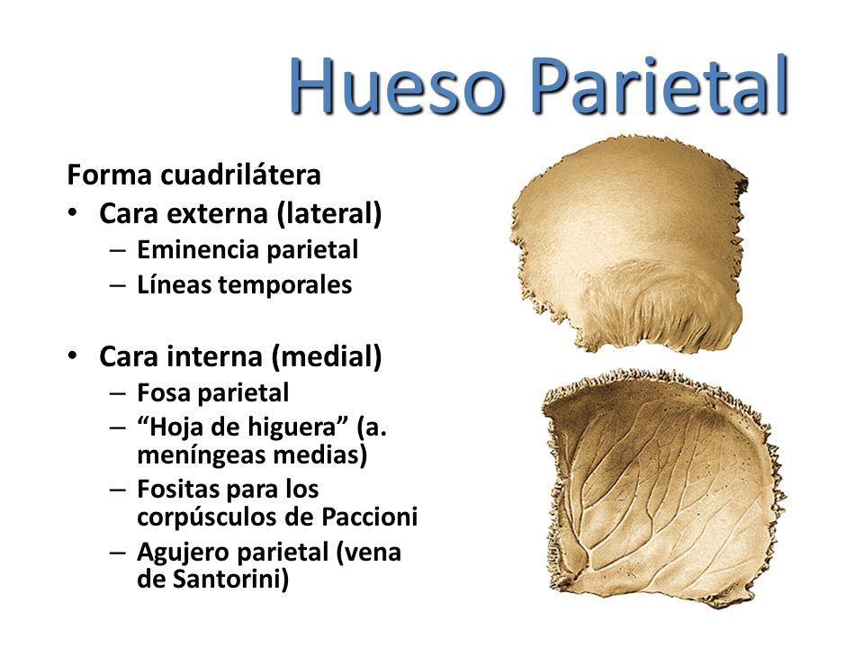 Hueso Parietal Forma cuadrilátera Cara externa (lateral) – Eminencia parietal – Líneas temporales Cara interna (medial) – Fosa parietal – Hoja de higu