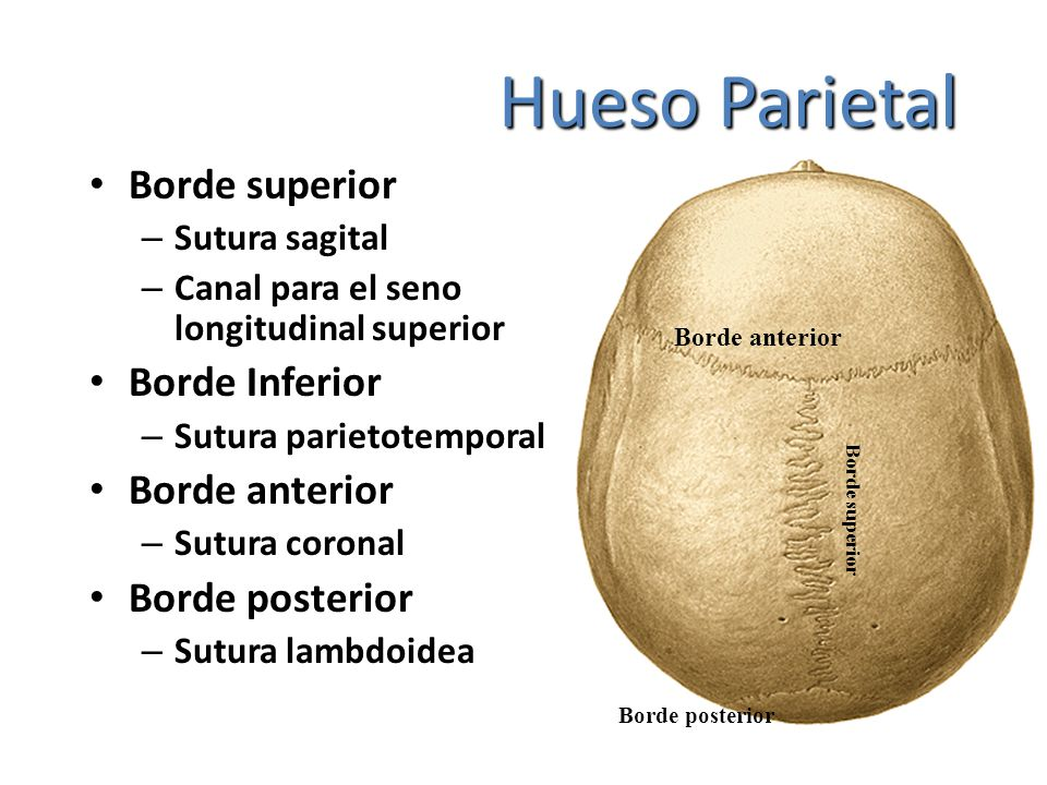 Hueso Parietal Borde superior – Sutura sagital – Canal para el seno longitudinal superior Borde Inferior – Sutura parietotemporal Borde anterior – Sut