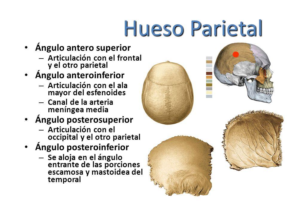 Hueso Parietal Ángulo antero superior – Articulación con el frontal y el otro parietal Ángulo anteroinferior – Articulación con el ala mayor del esfen