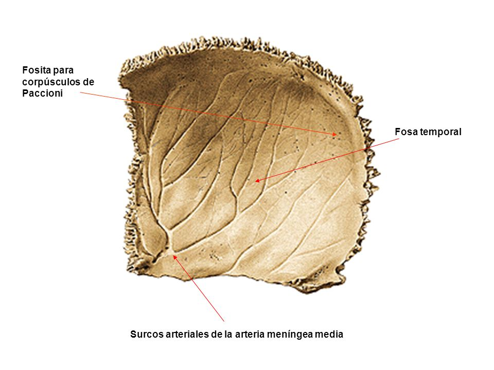 Surcos arteriales de la arteria meníngea media Fosa temporal Fosita para corpúsculos de Paccioni