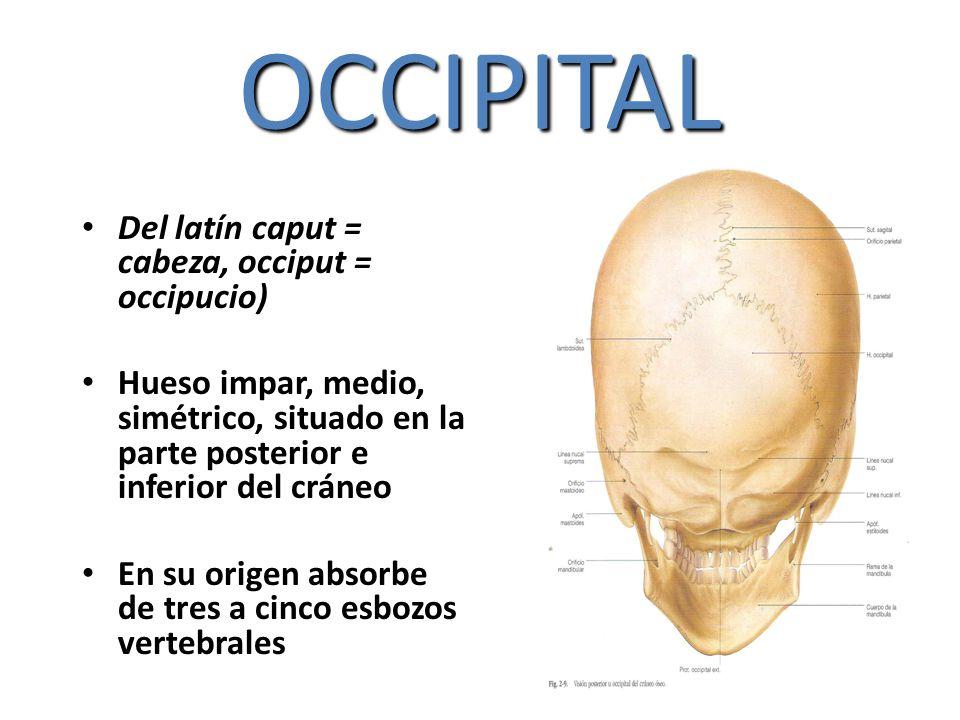 OCCIPITAL Del latín caput = cabeza, occiput = occipucio) Hueso impar, medio, simétrico, situado en la parte posterior e inferior del cráneo En su orig