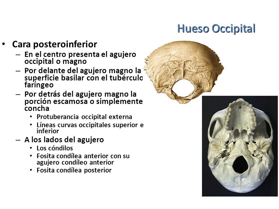 Hueso Occipital Cara posteroinferior – En el centro presenta el agujero occipital o magno – Por delante del agujero magno la superficie basilar con el