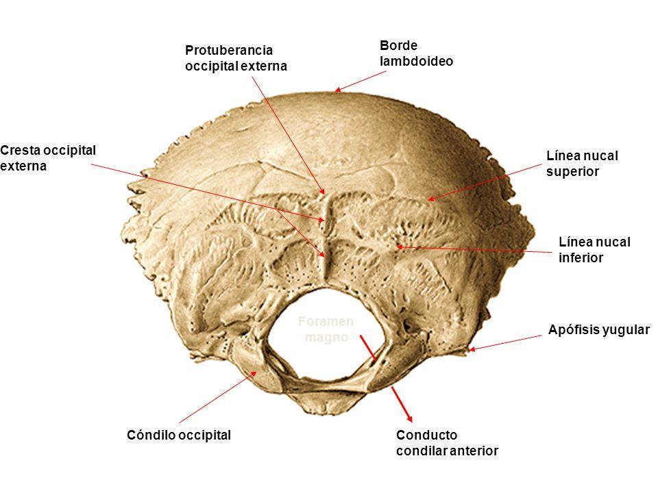 Protuberancia occipital externa Borde lambdoideo Línea nucal superior Línea nucal inferior Cresta occipital externa Foramen magno Cóndilo occipital Ap