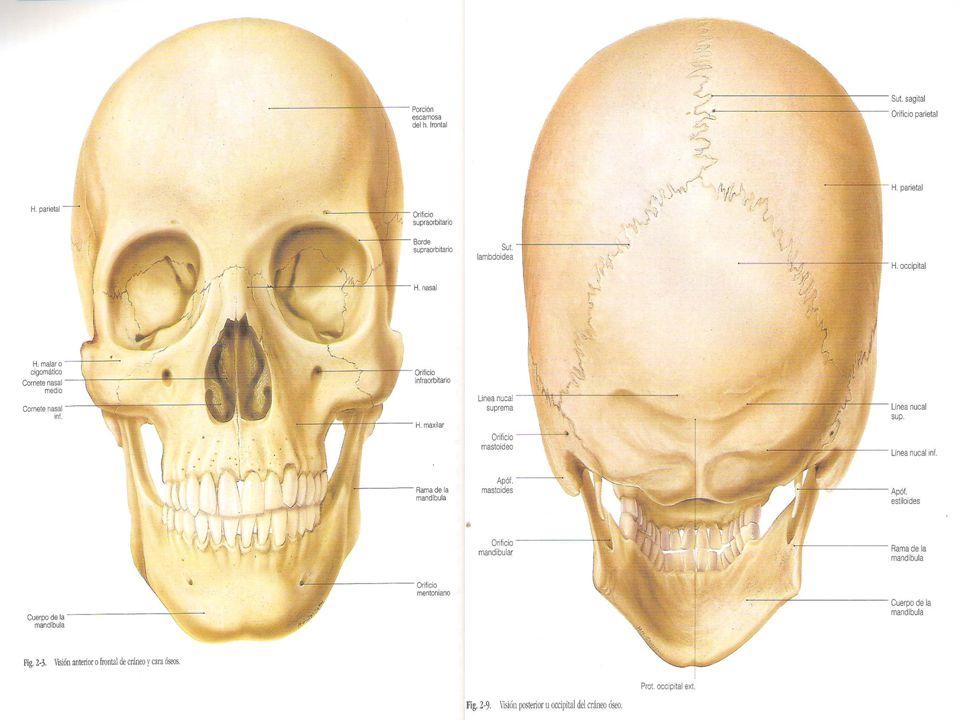 Hueso Esfenoides Alas menores – Cara superior Encéfalo – Cara inferior Bóveda orbitaria – Borde anterior Se articula con el frontal y la lámina cribosa del etmoides – Borde posterior Libre, sinuoso y cortante, separa los compartimientos anterior y medio de la base del cráneo