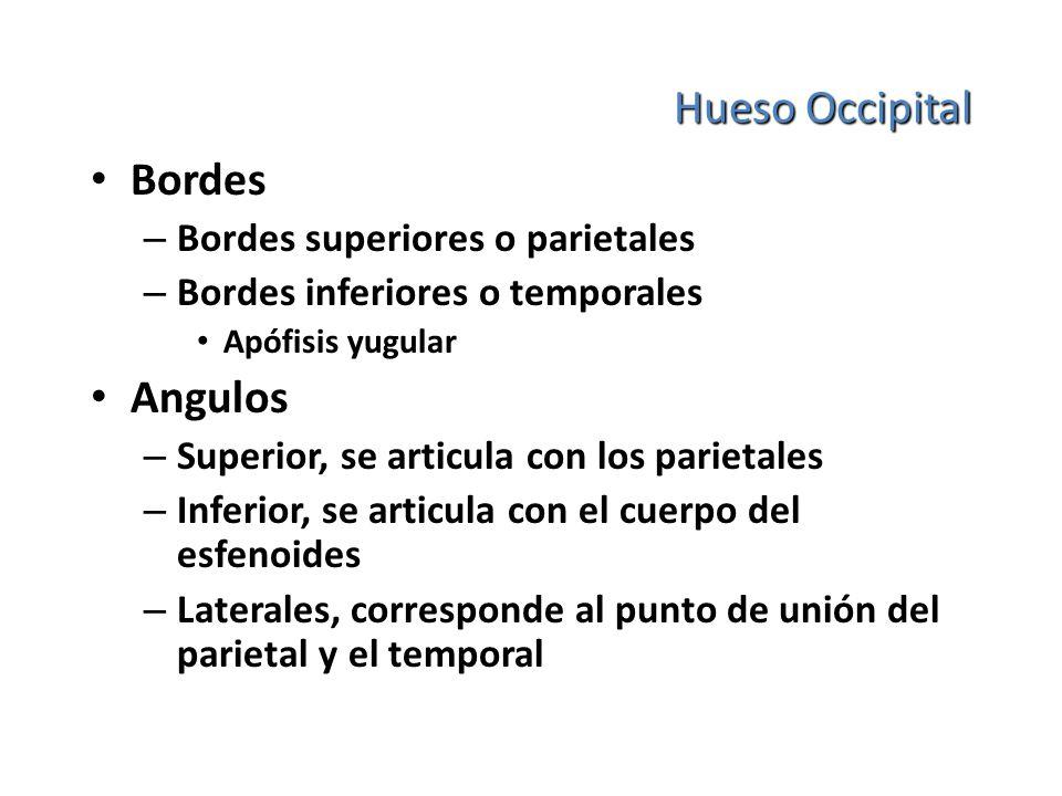 Hueso Occipital Bordes – Bordes superiores o parietales – Bordes inferiores o temporales Apófisis yugular Angulos – Superior, se articula con los pari