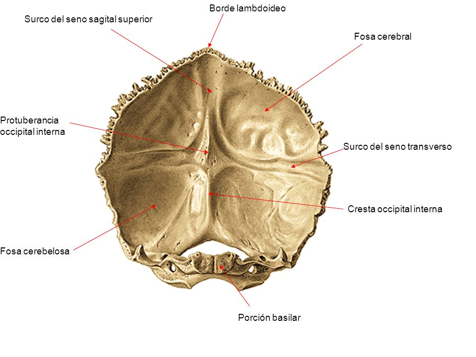 Borde lambdoideo Surco del seno sagital superior Protuberancia occipital interna Fosa cerebral Surco del seno transverso Cresta occipital interna Fosa