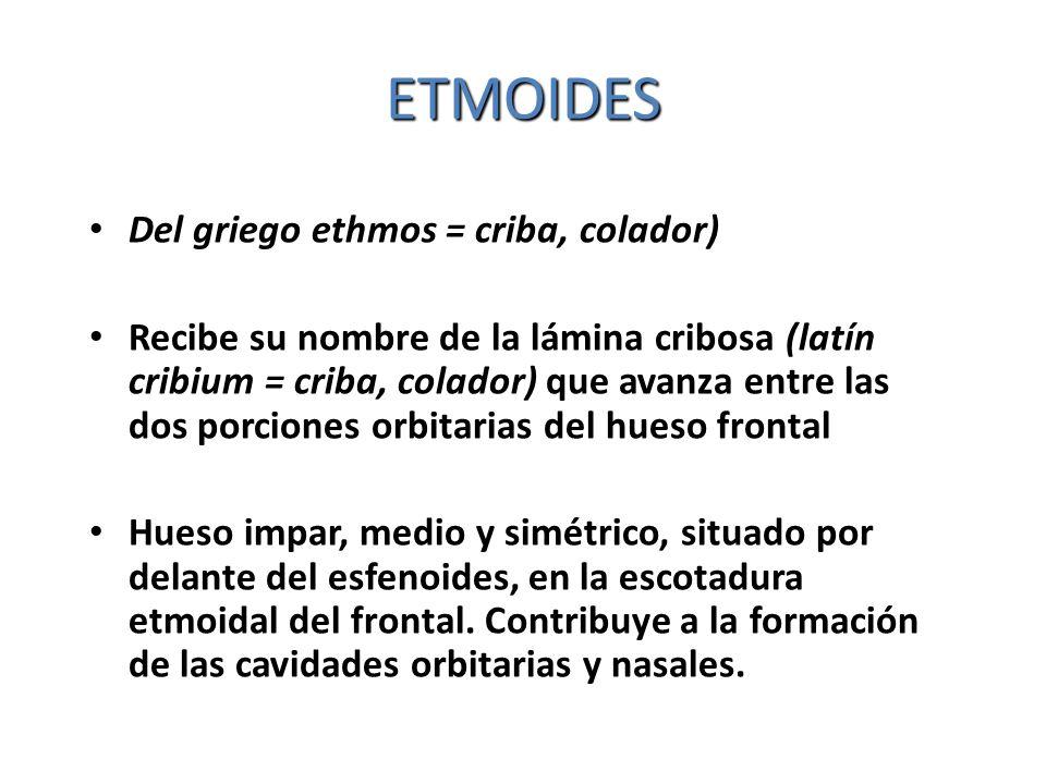 ETMOIDES Del griego ethmos = criba, colador) Recibe su nombre de la lámina cribosa (latín cribium = criba, colador) que avanza entre las dos porciones