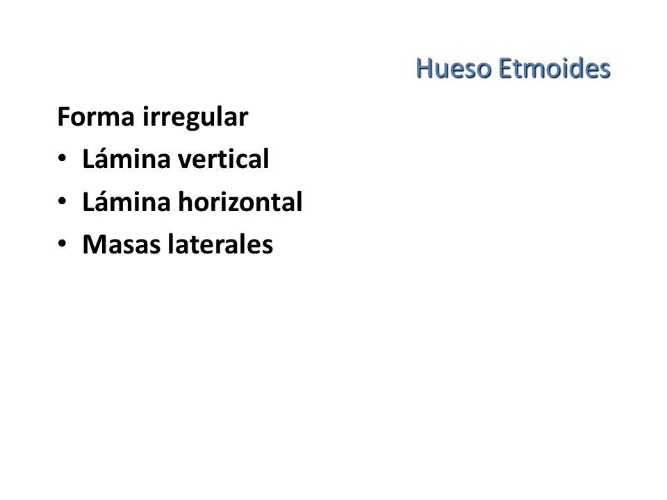 Hueso Etmoides Forma irregular Lámina vertical Lámina horizontal Masas laterales
