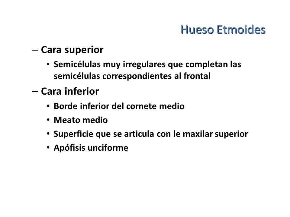 Hueso Etmoides – Cara superior Semicélulas muy irregulares que completan las semicélulas correspondientes al frontal – Cara inferior Borde inferior de