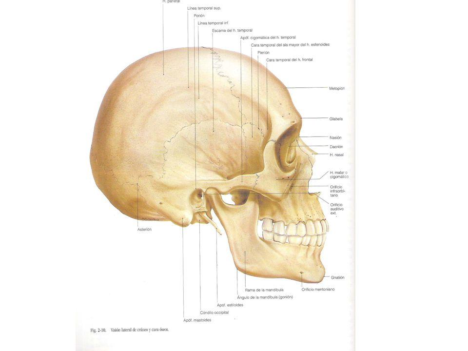 Hueso Esfenoides Apófisis pterigoides – Cara interna Estrecha y plana, contribuye a formar la pared externa de las fosas nasales – Cara externa Ancha y rugosa, forma parte de la fosa cigomática (inserción del músculo pterigoideo externo) – Cara anterior Lisa por arriba y abajo se articula con el palatino – Cara posterior Corresponde a la fosa pterigoidea (pterigoideo interno) Fosita escafoidea (periestafilino externo)