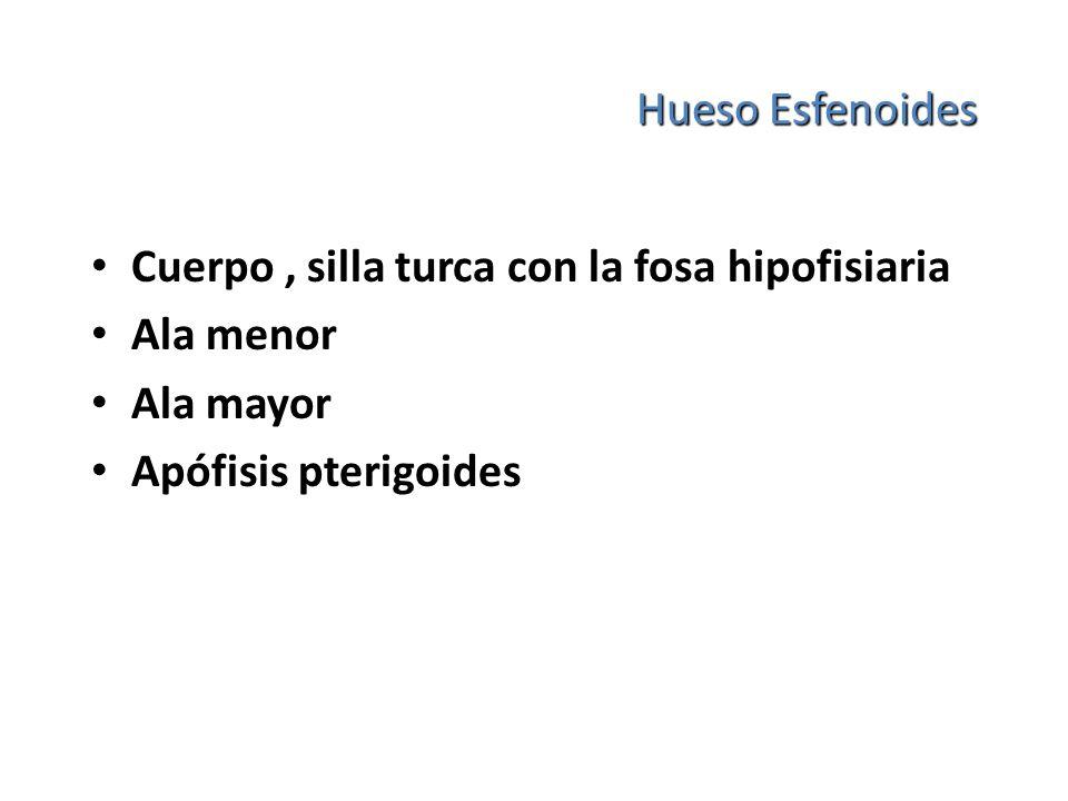 Hueso Esfenoides Cuerpo, silla turca con la fosa hipofisiaria Ala menor Ala mayor Apófisis pterigoides