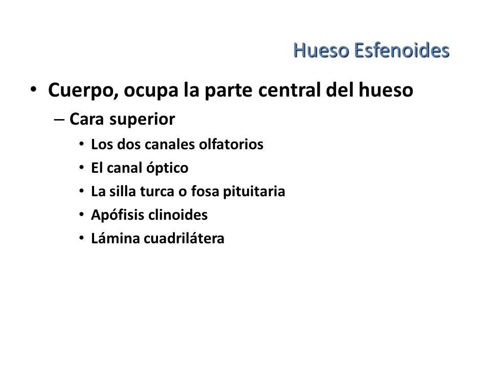 Hueso Esfenoides Cuerpo, ocupa la parte central del hueso – Cara superior Los dos canales olfatorios El canal óptico La silla turca o fosa pituitaria