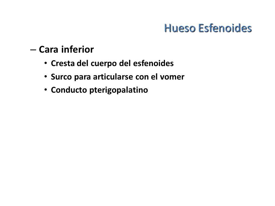 Hueso Esfenoides – Cara inferior Cresta del cuerpo del esfenoides Surco para articularse con el vomer Conducto pterigopalatino