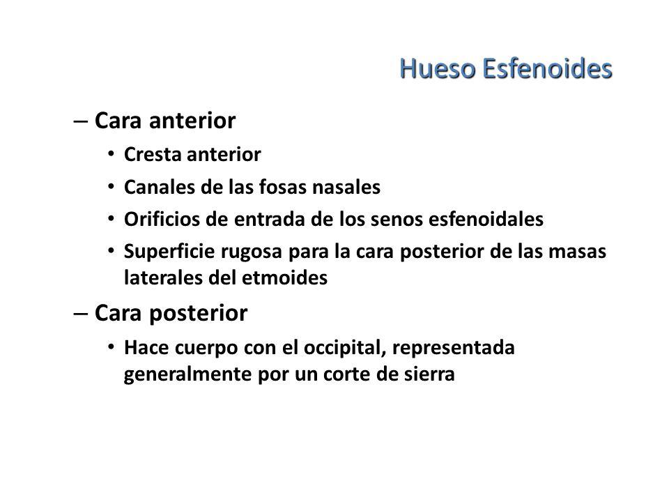 Hueso Esfenoides – Cara anterior Cresta anterior Canales de las fosas nasales Orificios de entrada de los senos esfenoidales Superficie rugosa para la
