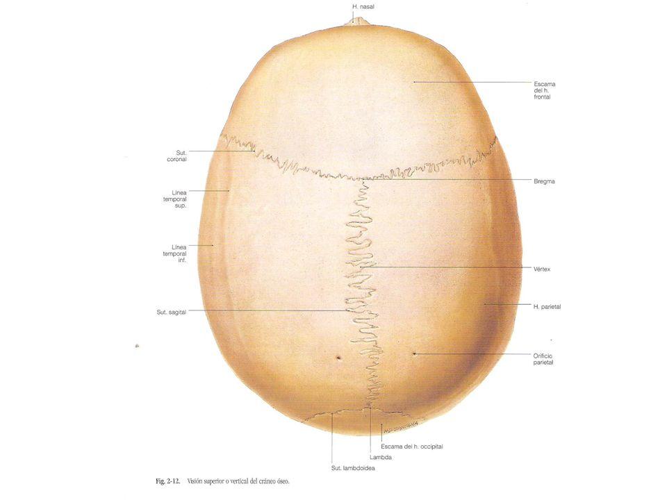 Frontal Temporal Izquierdo Temporal derecho Occipital Sutura Sagital Sutura coronal Cresta frontal Impresiones cerebrales Agujero ciego Agujeros Cribosos Agujeros etmoidales Conducto óptico Fisura orbitaria superior Fosa hipofisiaria Agujero Redondo Agujero espinoso Agujero oval Agujero rasgado Fosa cerebelosa FRONTAL ESFENOIDES TEMPORAL OCCIPITAL Vista superior, cara interna base del craneo Parietal Parietal