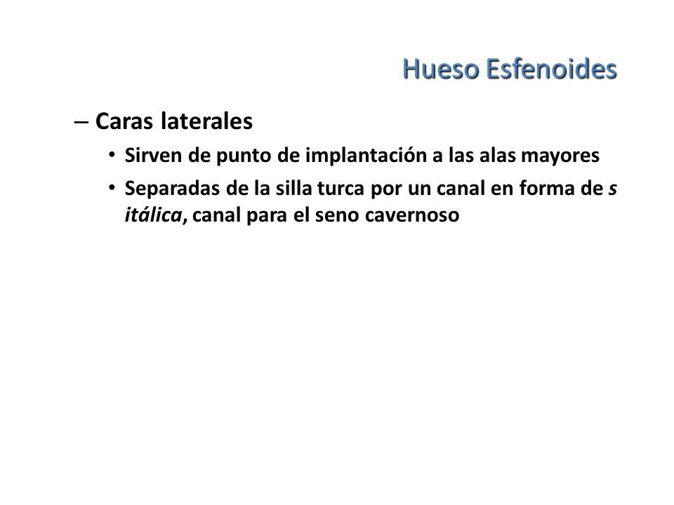 Hueso Esfenoides – Caras laterales Sirven de punto de implantación a las alas mayores Separadas de la silla turca por un canal en forma de s itálica,