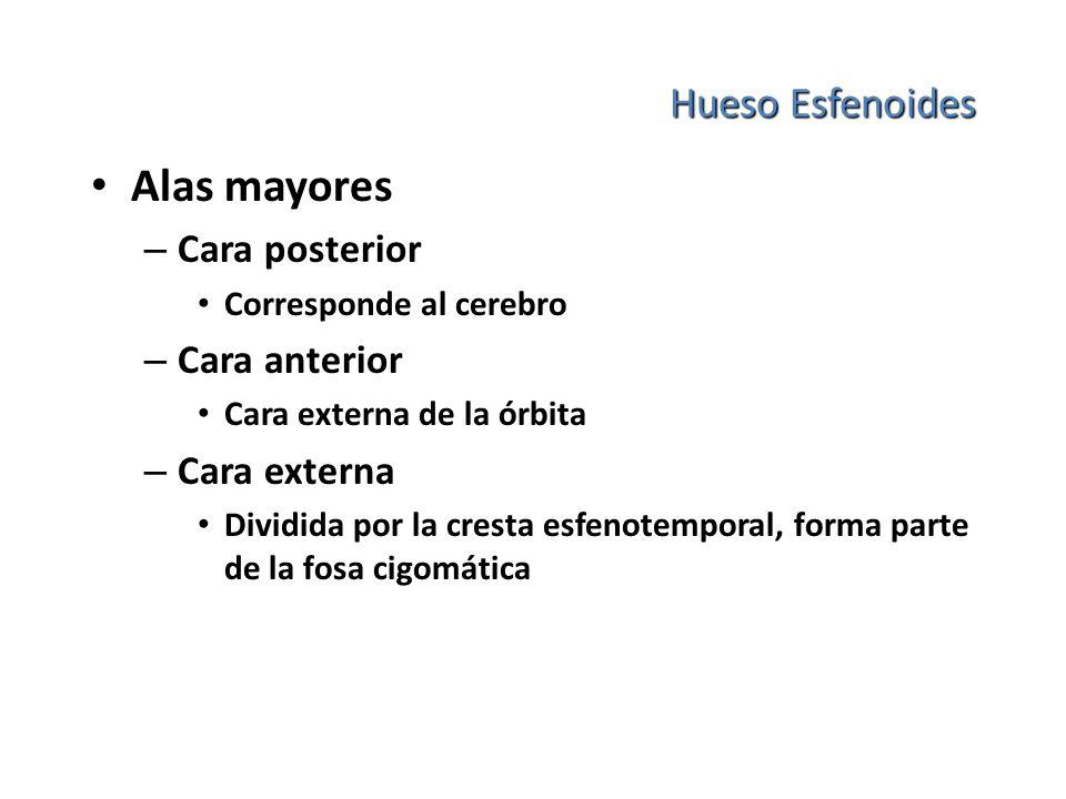 Hueso Esfenoides Alas mayores – Cara posterior Corresponde al cerebro – Cara anterior Cara externa de la órbita – Cara externa Dividida por la cresta