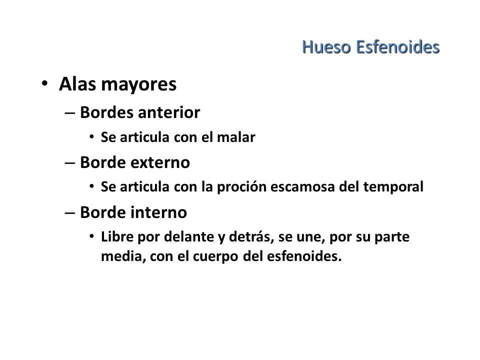 Hueso Esfenoides Alas mayores – Bordes anterior Se articula con el malar – Borde externo Se articula con la proción escamosa del temporal – Borde inte