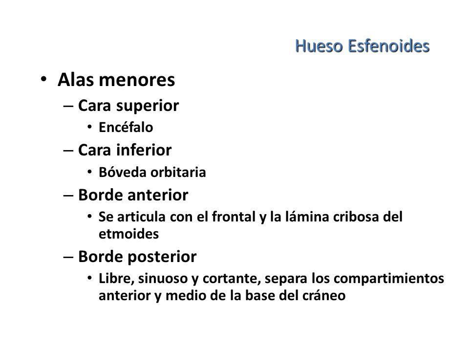 Hueso Esfenoides Alas menores – Cara superior Encéfalo – Cara inferior Bóveda orbitaria – Borde anterior Se articula con el frontal y la lámina cribos