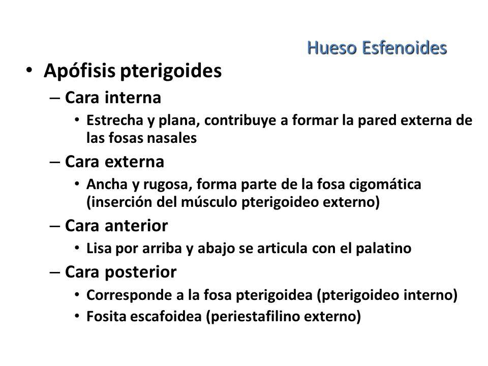 Hueso Esfenoides Apófisis pterigoides – Cara interna Estrecha y plana, contribuye a formar la pared externa de las fosas nasales – Cara externa Ancha