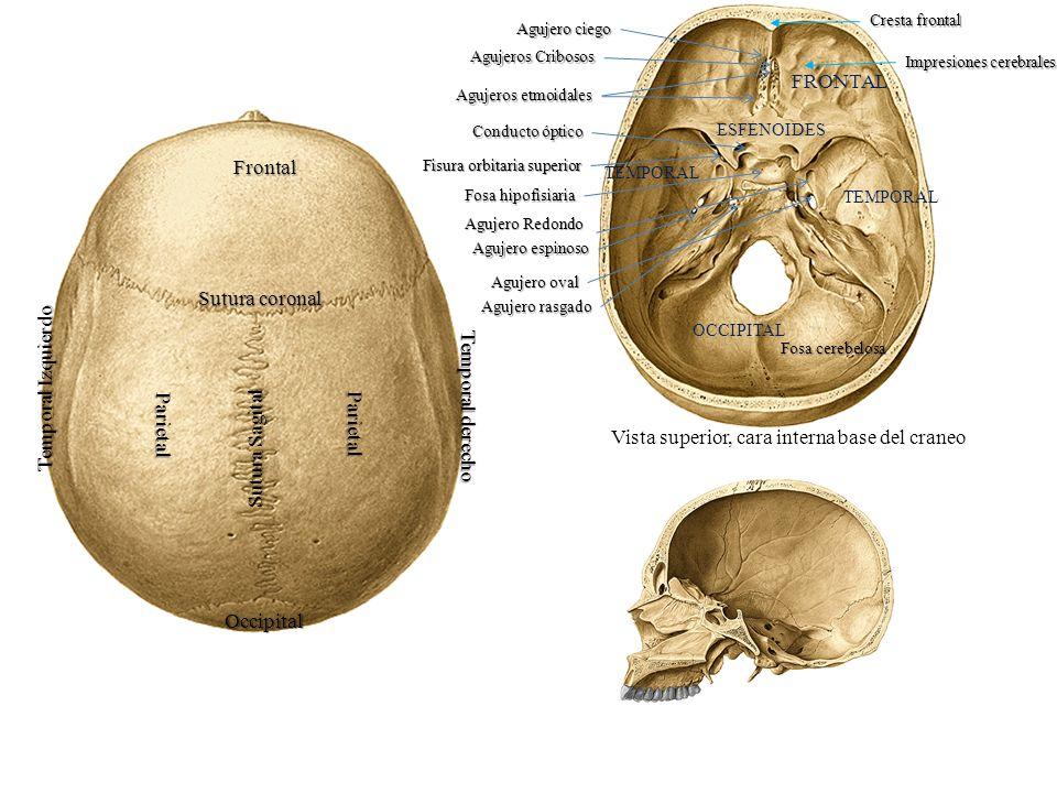 Hueso Occipital Cara posteroinferior – En el centro presenta el agujero occipital o magno – Por delante del agujero magno la superficie basilar con el tubérculo faríngeo – Por detrás del agujero magno la porción escamosa o simplemente concha Protuberancia occipital externa Líneas curvas occipitales superior e inferior – A los lados del agujero Los cóndilos Fosita condílea anterior con su agujero condíleo anterior Fosita condílea posterior