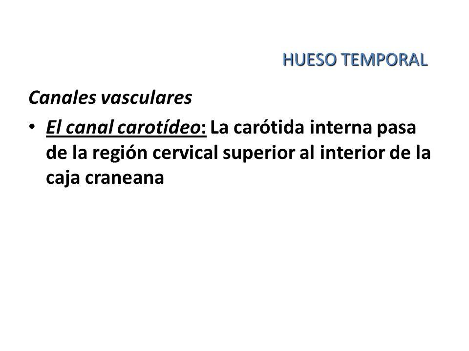 HUESO TEMPORAL Canales vasculares El canal carotídeo: La carótida interna pasa de la región cervical superior al interior de la caja craneana