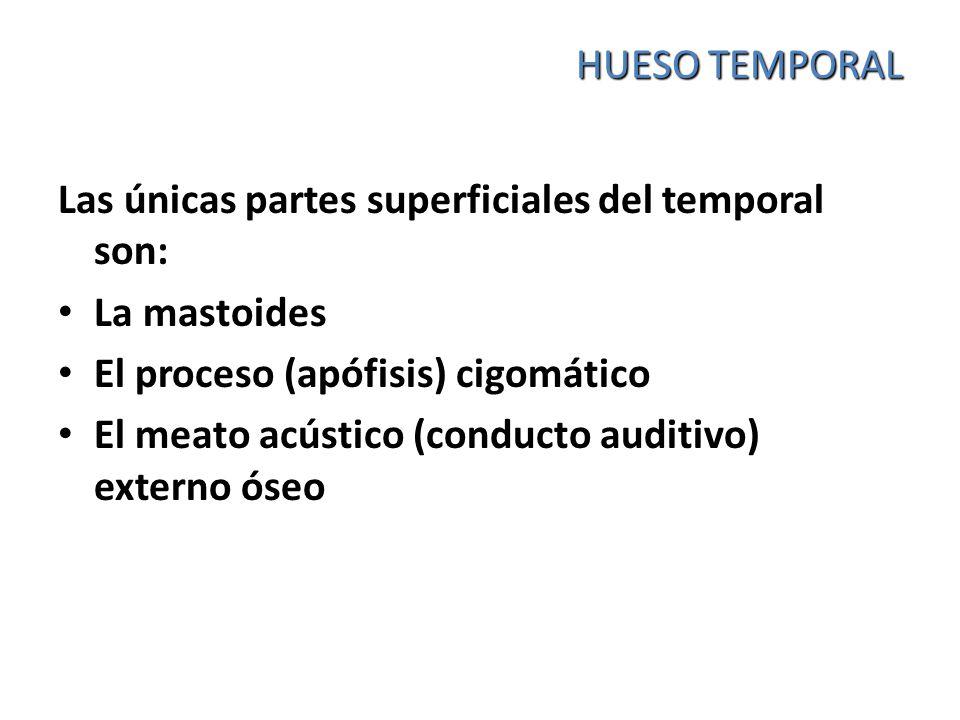 HUESO TEMPORAL Las únicas partes superficiales del temporal son: La mastoides El proceso (apófisis) cigomático El meato acústico (conducto auditivo) e