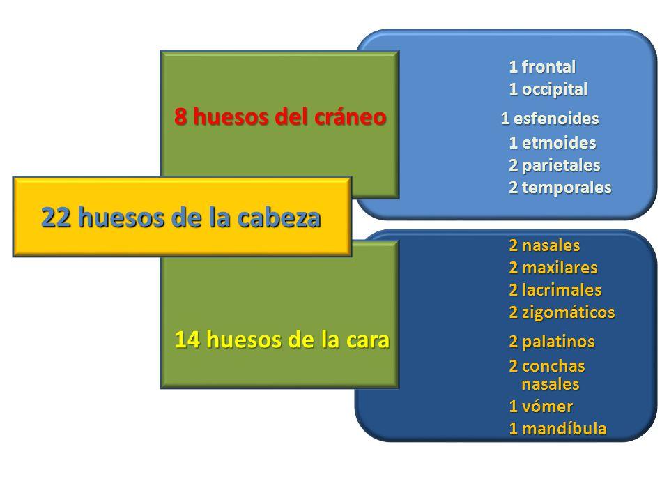 1 frontal 1 occipital 8 huesos del cráneo 1 esfenoides 1 etmoides 2 parietales 2 temporales 22 huesos de la cabeza 2 nasales 2 maxilares 2 lacrimales