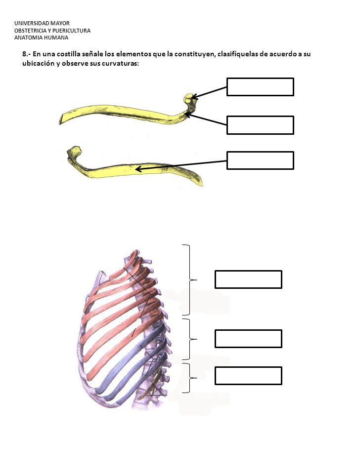 8.- En una costilla señale los elementos que la constituyen, clasifíquelas de acuerdo a su ubicación y observe sus curvaturas: UNIVERSIDAD MAYOR OBSTE