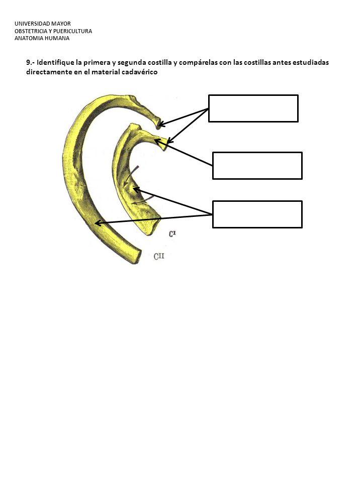 9.- Identifique la primera y segunda costilla y compárelas con las costillas antes estudiadas directamente en el material cadavérico UNIVERSIDAD MAYOR