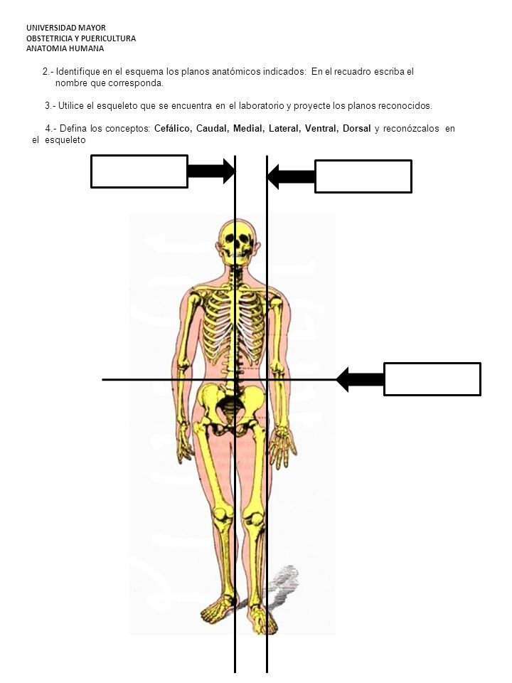 2.- Identifique en el esquema los planos anatómicos indicados: En el recuadro escriba el nombre que corresponda. 3.- Utilice el esqueleto que se encue